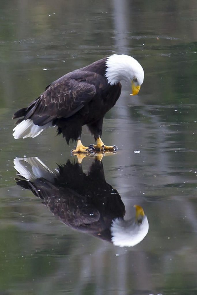 Reflected Glory, Eagle
